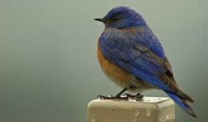 blue bird-1