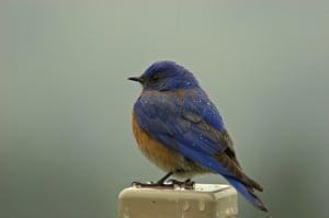 blue bird-2