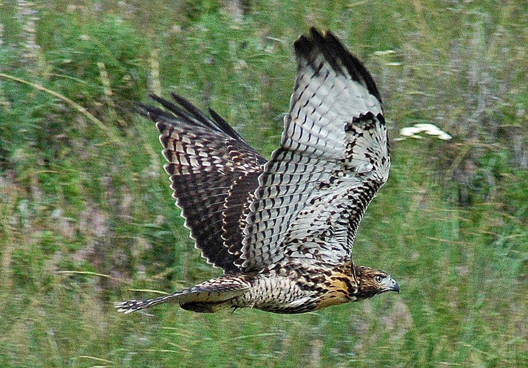 hawk on the run.jpg