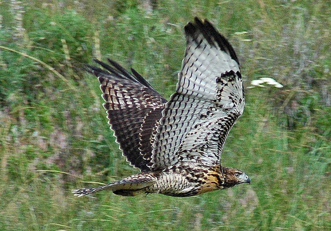 hawk on the run